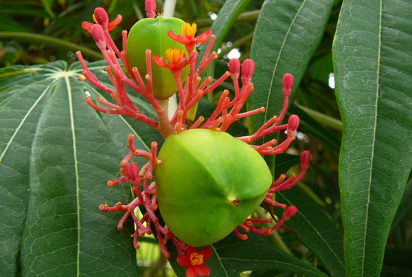 Jatropha Oil Seed for Biofuel