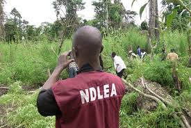 NDLEA Destroys 246 Tonnes of Cannabis Sativa in Ekiti State
