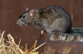 Environmental Health Officers Kill 4,400 Rats In 6 Markets In Lagos State
