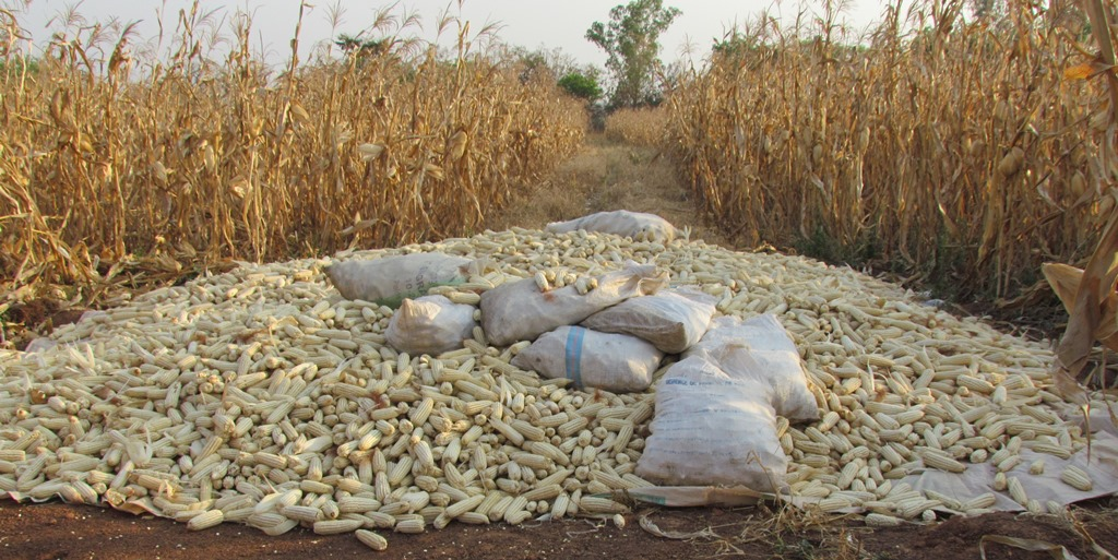 Plateau maize farmers commend FG over anchor borrower programme