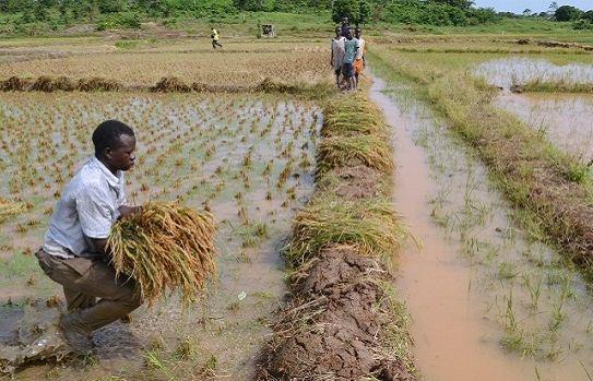niger rice