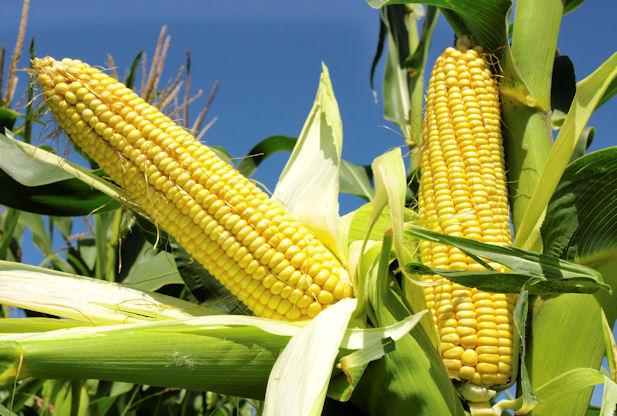 Maize-Farming