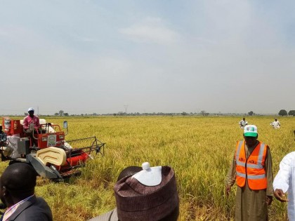 1.2m Tons of Rice Estimated For Harvest In Kano This Year