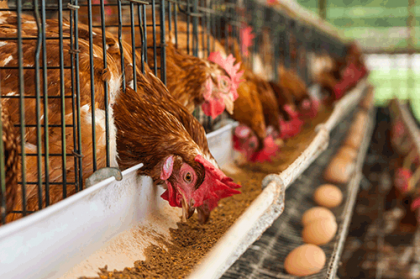 poultry-feed-1