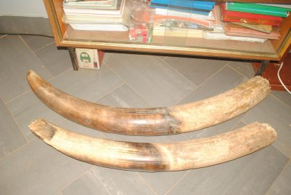 Tusks Weighing 65kg With N14.4m Duty Paid Value Intercepted At Border