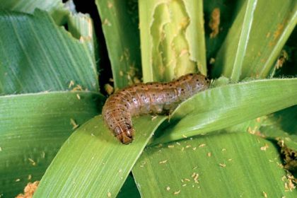FG Trains 100 Farmers On Control, Management Of Fall Army Worm