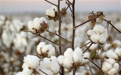 Cotton farmers seek prompt intervention, access to CBN's agric programme