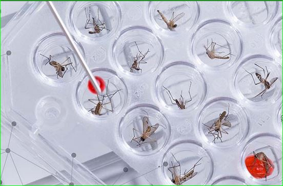 NMBA Stresses Need for Bio-safety Measures on Genetically Modified Mosquitoes